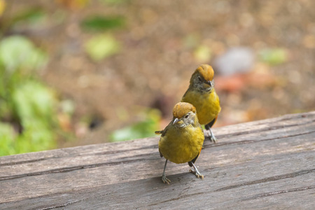 montane: Cute Chestnut-tailed Minla birds in yellow walking on wooden floor in Chiangmai, North of Thailand