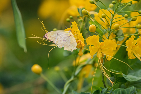 yellow tailed: Soft focus of the Common Tailed Sulphur in pale yellow feeding on yellow flowers of Caesalpina in Thailand, Asia