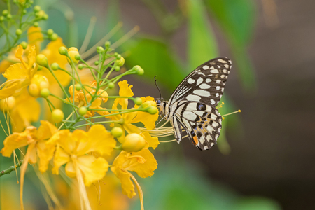 papilio demoleus: Soft focus of Lime Butterfly in brown and yellow bands with blue spots feeding on yellow flowers of Caesalpina in Thailand, Asia (Papilio demoleus) Stock Photo