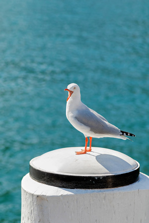 Silver Gull seabird screaming standing on white wooden pole in the afternoon with blurred wave and sea background at Sydney Harbour in New South Wales, Australia