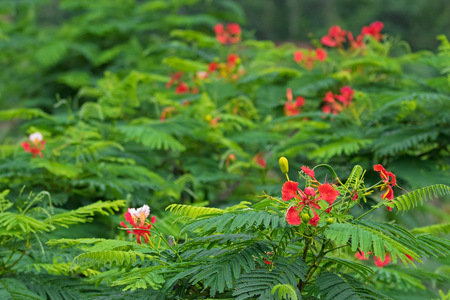 Fabaceae: Closeup of red flowers of Caesalpinia with blurred background, Thailand, Asia (Caesalpinia pulcherrima)