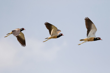wader: Red-wattled Lapwing in flight, bird with red wattle in front of eye, black-tipped red bill flying against blue sky in Thailand