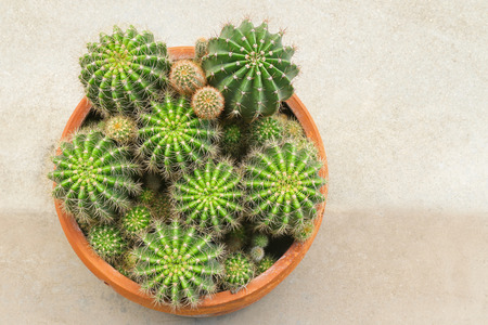 Top view of a pot full of cactus succulent plant, Gymnocalycium Echinopsis calochlora Stock Photo