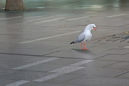 seabird: Aggressive Silver Gull seabird standing screaming on pavement at Sydney Harbour in New South Wales, Australia