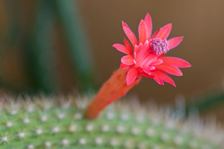 Red flower of Golden rat tail cactus with pink pollen, blurred background and Selective focus