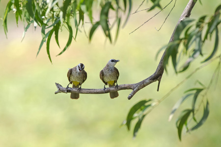 vented: Yellow-vented bulbul birds perching on tree branch with blurred forest background, Thailand (Pycnonotus goiavier)