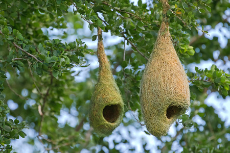 weaver bird nest: Closeup of Weaver bird pendant nests hanging on tree branches in the forest, Thailand