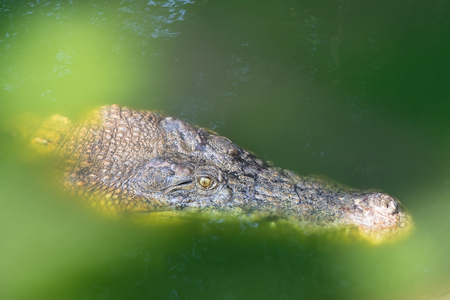 saltwater: Closeup headshot of Saltwater Crocodile floating around in green water, Thailand, Asia