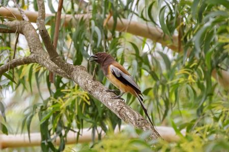 rufous: Rufous Treepie bird with long tail and dark light brown feathers perching on tree branch in the forest in Thailand, Asia. (Dendrocitta vagabunda)