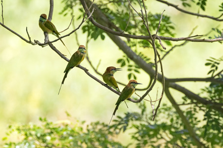birds in tree: Two Little Green Bee-eater birds in yellow green brown perching on tree branch during summer in Thailand (Merops orientalis) Stock Photo