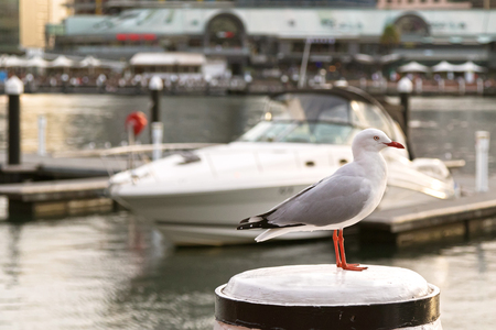 seabird: Silver Gull seabird standing on white wooden pole during sunset with blurred yacht and Sydney Harbour background in New South Wales, Australia Stock Photo