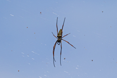 weavers: Huge Golden Silk Orb weaver spider hanging from its web with other small insects, blue sky background (Nephila) Stock Photo