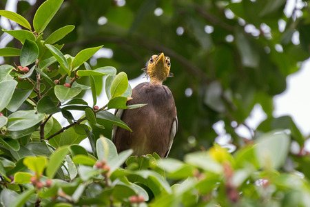 common myna bird: Ant view of Bald headed Common Myna bird with yellow head perching on tree branch in the forest, Thailand, Asia Stock Photo