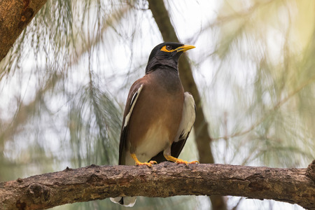 common myna bird: Common myna, Indian mynah bird with yellow eye patch perching on tree branch during sunset in Thailand (Acridotheres tristis)
