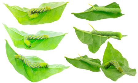 Closeup of green Caterpillar of deaths head hawkmoth on green leaves in different positions, isolated on white background Stock Photo