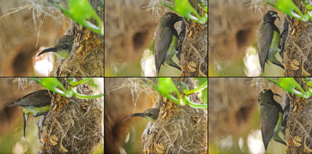 patents: Patents of olive-backed yellow-bellied sunbird visiting a baby at their hanging flask-shaped nest (Cinnyris jugularis)