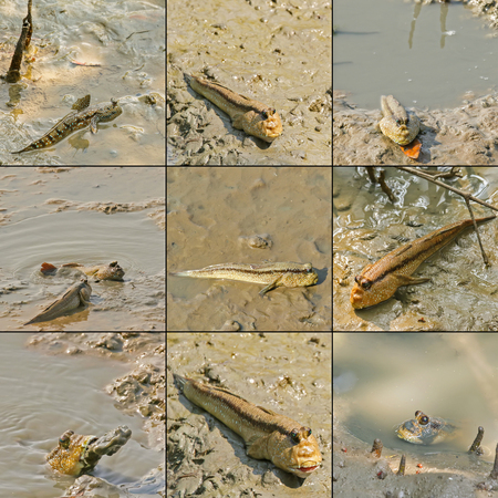 blue spotted: Giant mudskipper, Blue spotted mudskipper crawling with fins on wet muddy land in mangrove forest, Thailand