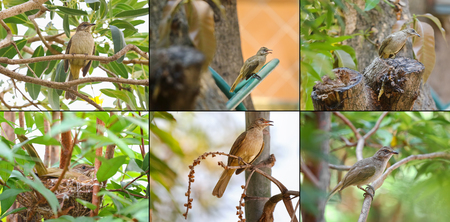 subspecies: Collage set of streak - eared bulbul bird on tree nest and branch in the garden during the summer in Thailand, Asia. They have brownish feathers, whitish streaked ears with pale gray eyes.