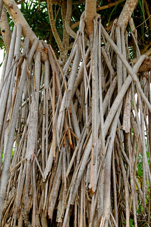 Closeup prop roots anchoring tree of screwpine to the ground (Andanus tectorius) Stock Photo