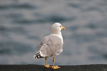 southern european: European herring Gull standing on black net with blurred Mediterranean Sea in Italy, southern Europe