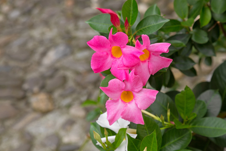 species of creeper: Closeup of Mandevilla, Rocktrumpet flowers with pink petals and yellow center blooming in Italy Stock Photo
