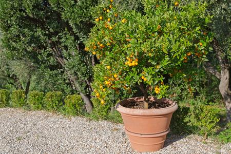 naranja arbol: Gran olla de árbol de mandarina y naranja de los cítricos en el jardín con un fuerte sol durante el otoño en Italia