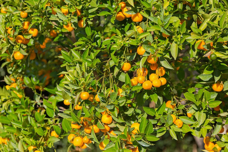 tangerine tree: Tangerine tree and orange colored citrus fruit in the garden with strong sun during Autumn in Italy