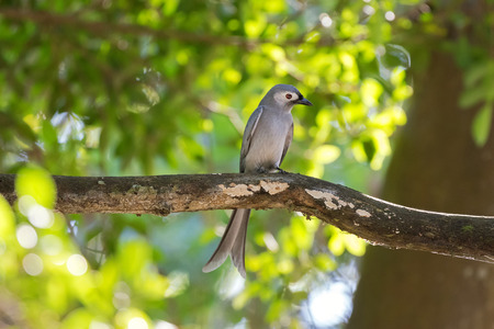 forked tail: Ashy Drongo gray bird perching on tree branch in forest, Thailand, Asia (Dicrurus leucophaeus)