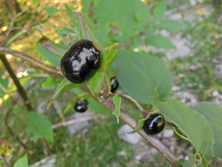 belladonna: Closeup of extremely toxic Deadly nightshade berry grown in forest in Austria, Europe (Atropa belladonna)