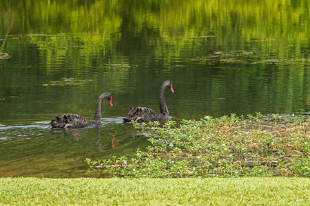 waterbird: A pair of large black swans waterbird swimming in the lake during sunny day in Singapore, Asia (Cygnus atratus)