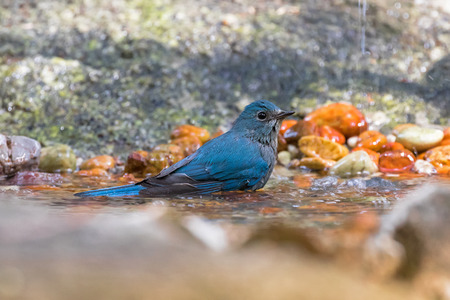 water bird: Beautiful Verditer Flycatcher bird in blue playing soaking body in cold water in Thailand, Asia (Eumyias thalassinus)  Stock Photo