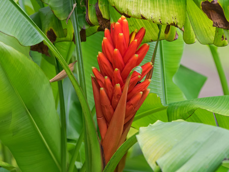 musa: Closeup red flower of Scarlet banana, red-flowering banana (Musa coccinea) in the garden Stock Photo