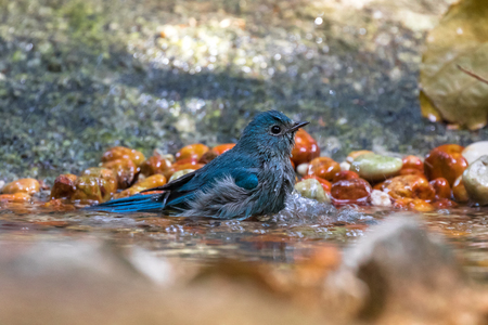 Cute little Verditer Flycatcher bird in blue playing soaking body in cold water in Thailand, Asia (Eumyias thalassinus)  Stock Photo