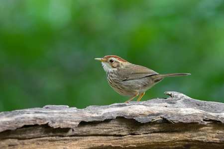 Puff-throated spotted Babbler bird in brown with streaks on breast  and belly, walking on dried wooden log with blurred green forest background (Pellorneum ruficeps)