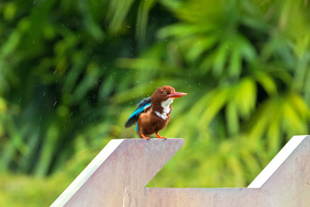 White throated Kingfisher bird shakes off water from its feathers with blurred green background. Also called White-breasted OR Smyrna kingfisher (Halcyon smyrnensis)