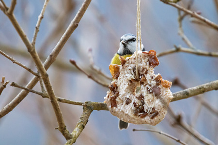 Homemade bird feeder, coconut fat cookie with nut, raisin hanging on tree in winter with Eurasian blue tit nibbling behind Stock Photo