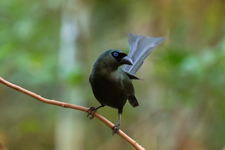 Racket-tailed treepie bird in black with metallic green and turquoise blue eye perching on branch in forest, Thailand, Asia (Crypsirina temia)