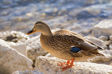 Female mallard, mottled wild duck, with brown speckled plumage and a patch of white blue and black standing on rock near lake (Anas fulvigula) Stock Photo