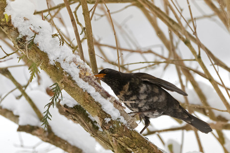Male Common blackbird bird in black with albino grey white feather, yellow eye ring eating homemade bird cookie on tree branch cover with snowflakes during winter in Austria, Europe (Turdus merula) Stock Photo