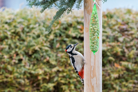 Great spotted woodpecker bird hanging on wooden pool with meshed bag full of nuts seeds during winter. Woodpecker has glossy blue black, white, crimson red patch on nape (Dendrocopos major)