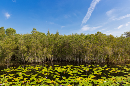greenish blue: Cajuput, white Samet tree growing at Swamp flooded forest in water with lotus flower leaves against blue sky in Rayong, Thailand (Melaleuca cajuputi)