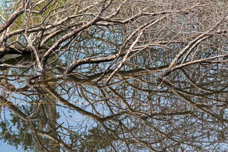 myrtaceae: Brown tree branches submerging in water showing mirror reflection at Swamp flooded forest in Rayong, Thailand Stock Photo