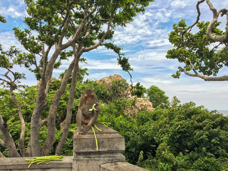 super hot: Cute monkey eating cucumber and yardlong beans on concrete pole, super hot summer in Chonburi, Thailand
