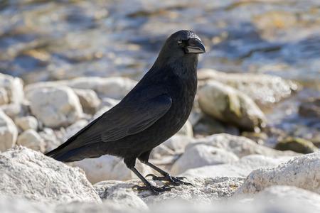 Big crow bird in glossy black plumage, heavy bill standing on rock by lake in Austria, Europe