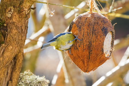 Eurasian blue tit bird in yellow blue white perching eating inside Coconut Shell suet treats made of fat, sunflower seeds hanging on branches during winter in Europe Stock Photo