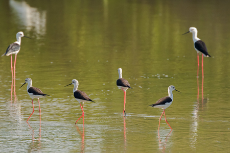wader: Black winged Stilt, Common stilt, Pied stilt wader birds with pink legs, long thin black bill walking in water looking for food in Thailand, Asia (Himantopus himantopus)