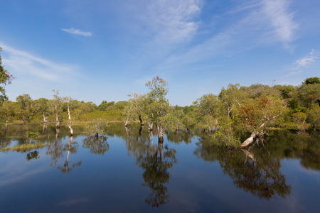 Cajuput, white Samet tree growing at Swamp flooded forest in water against blue sky in Rayong, Thailand (Melaleuca cajuputi) Stock Photo