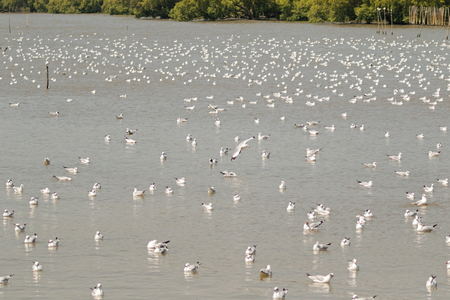 white headed: Huge flock of Brown headed Gull, Seagull birds floating on water, summer in Thailand, Migrated from Siberian