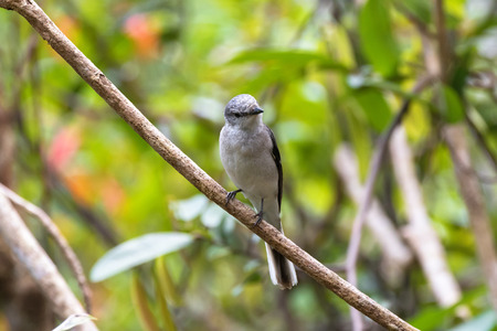 ashy: Brown Rumped, Swinhoes minivet, cuckooshrike bird in grey perching on branch with blurred green forest, background in Thailand, Asia (Pericrocotus cantonensis)   Stock Photo