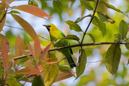 yellow line: Male Blue Winged Leafbird, green bird with yellow head, black face throat with blue moustachial line perching on tree branch with blurred background  in Thailand, Asia (Chloropsis cochinchinensis)   Stock Photo